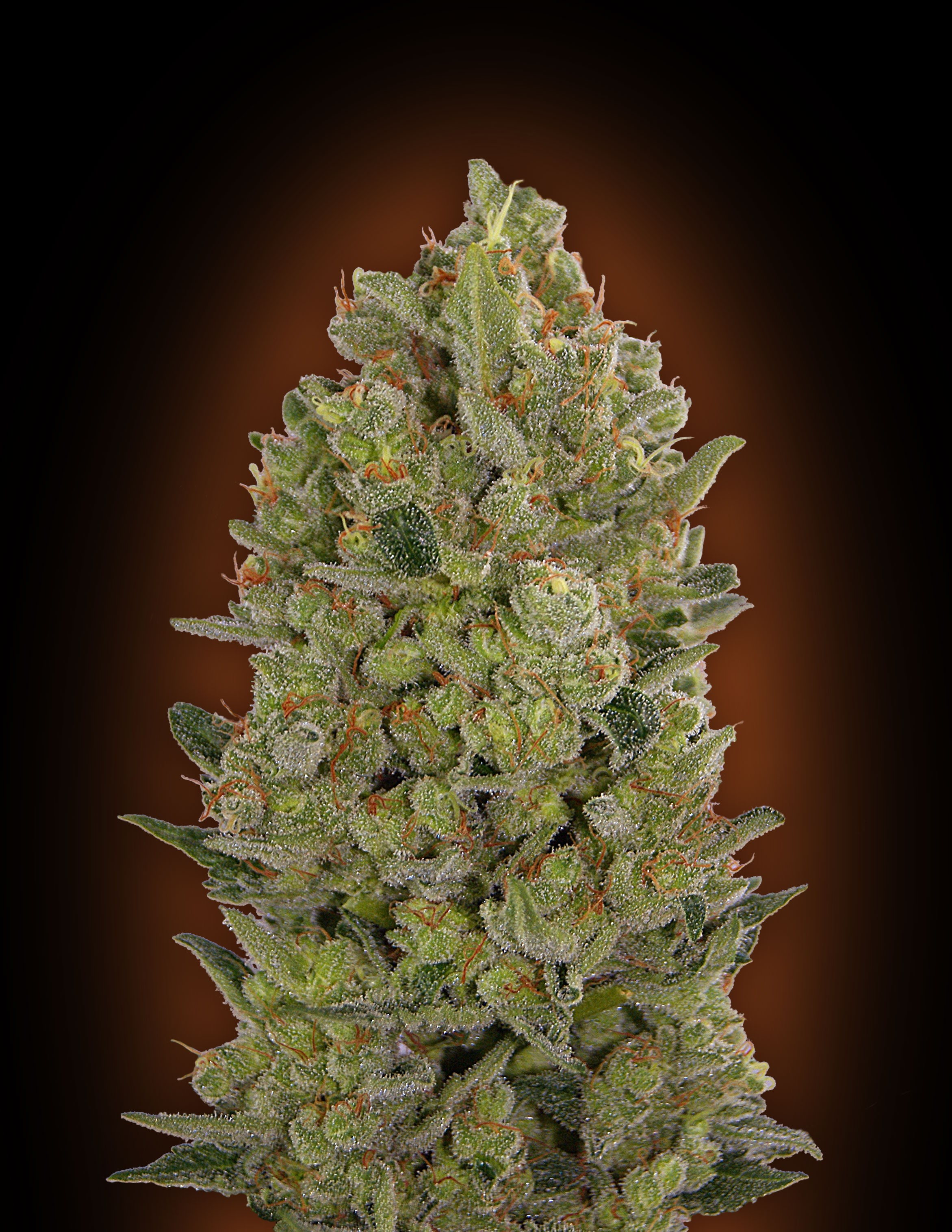 00 SEEDS -CHEESE 5 UNIDS-FEM