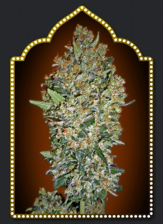 00 SEEDS -CHEESE BERRY 5 UNIDS-FEM