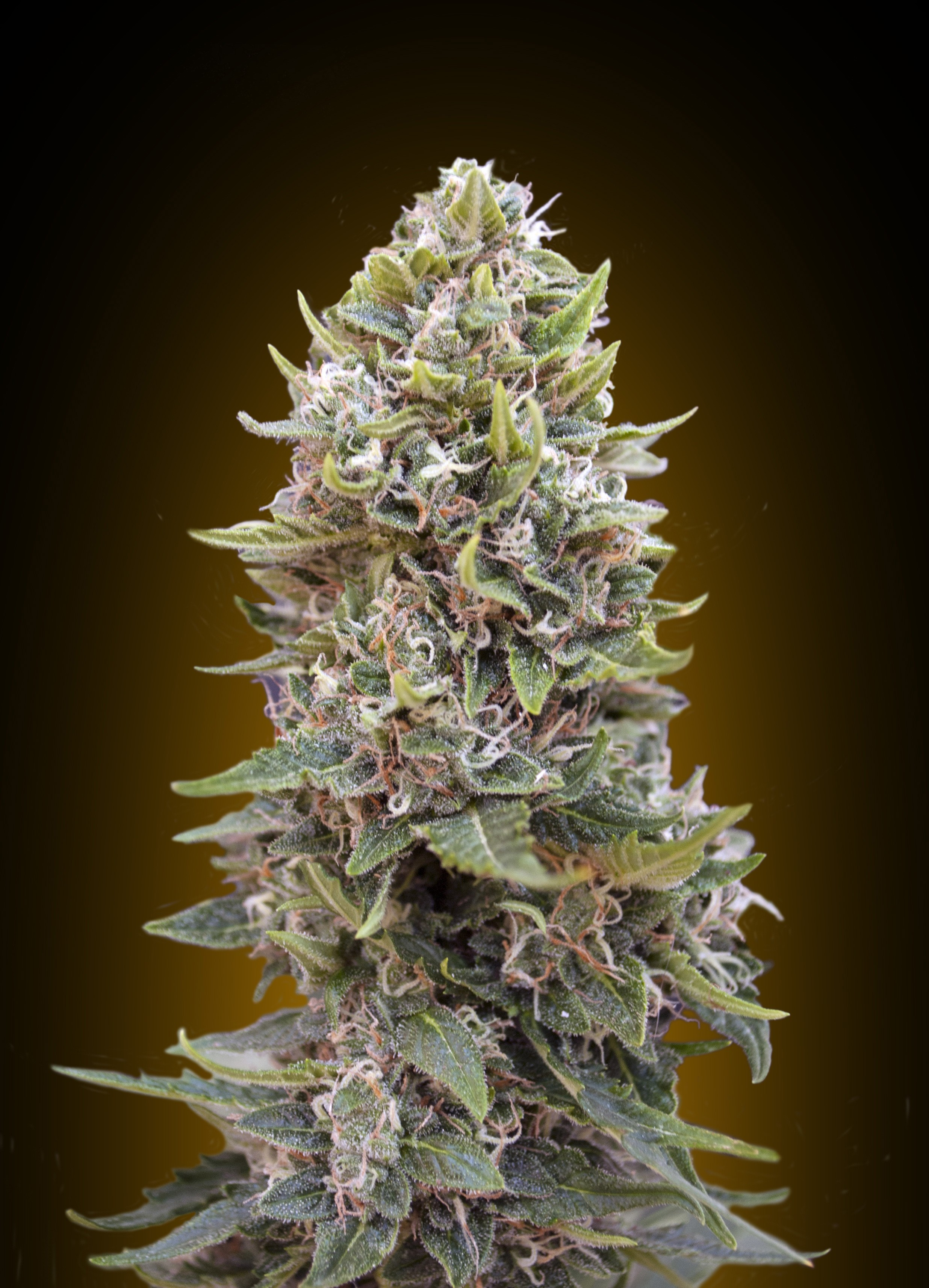 00 SEEDS  -  AUTO CHEESE BERRY 5 UNIDS-FEM
