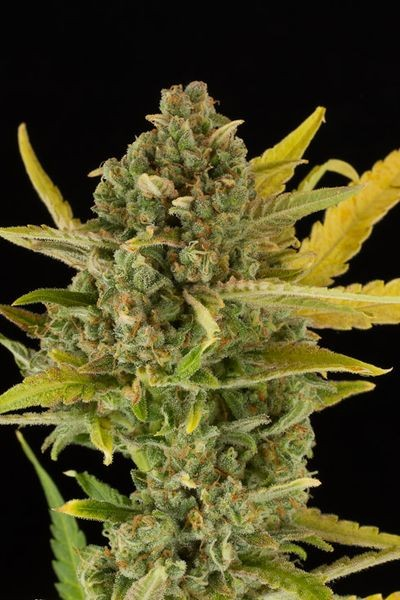 DINAFEM 1 UND -CRITICAL CHEESE AUTO