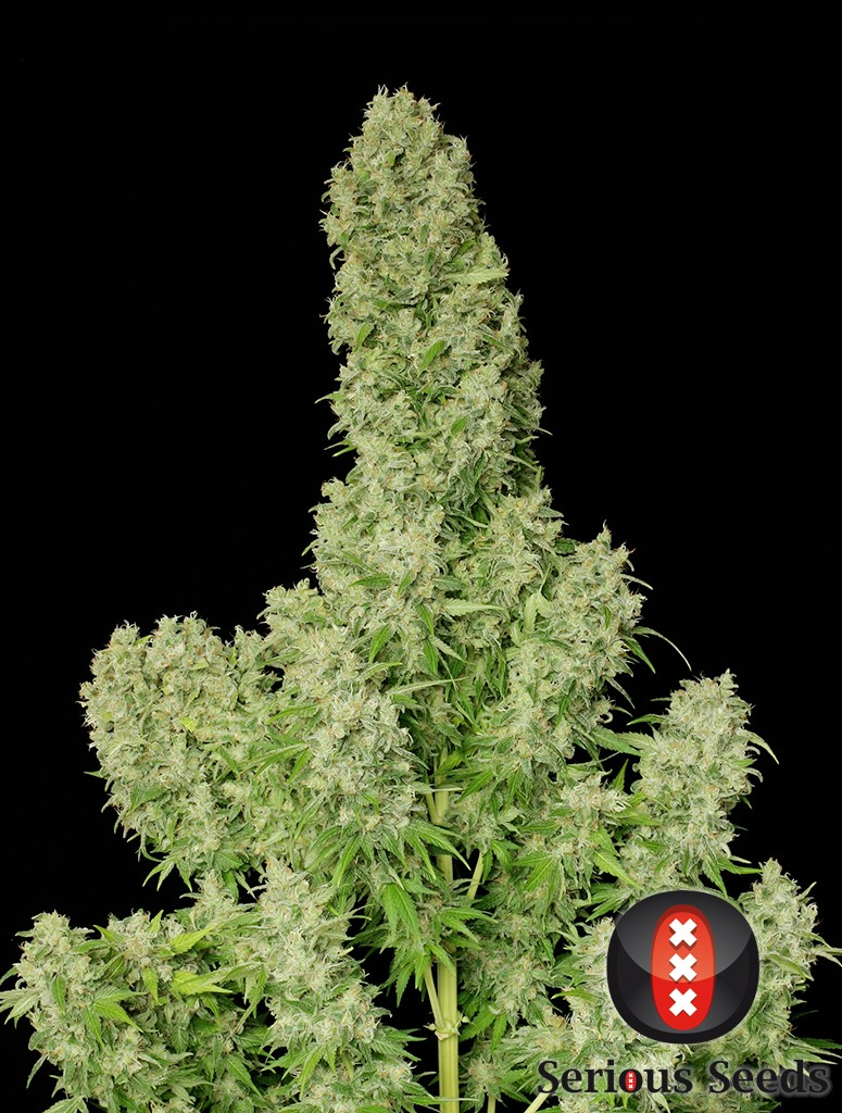 SERIOUS SEEDS- WHITE RUSSIAN. 6 UNIDS FEM