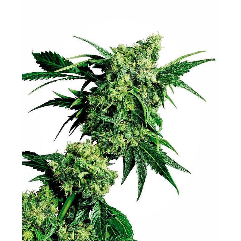 10 UND REG - G13-HAZE WHITE LIGHT
